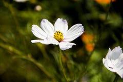 国家(地区)花开花热带白色 库存照片