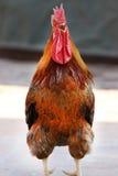 国王公鸡 库存照片