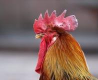 国王公鸡 免版税库存图片