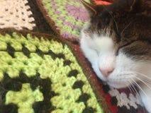 国王山猫 免版税库存照片
