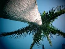 国王棕榈树  库存照片