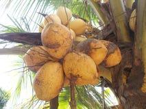 国王椰子结果实橙色褐色 图库摄影