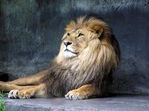 国王狮子 免版税图库摄影