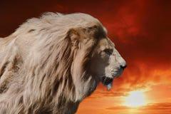 国王狮子 免版税库存照片