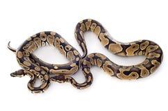 国王的Python 免版税库存图片