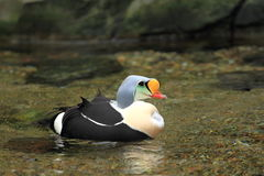 国王绒鸭 库存图片