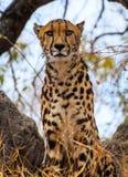 国王Cheetah 库存照片