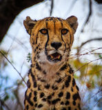 国王Cheetah 免版税库存照片