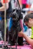 国际狗化妆竞争在Sant安东尼de卡隆赫在西班牙, 19 05 2018年,西班牙 免版税图库摄影