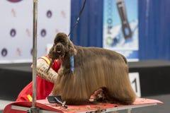 国际狗化妆竞争在Sant安东尼de卡隆赫在西班牙, 19 05 2018年,西班牙 免版税库存照片