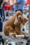 国际狗化妆竞争在Sant安东尼de卡隆赫在西班牙, 19 05 2018年,西班牙 免版税库存图片
