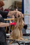 国际狗化妆竞争在Sant安东尼de卡隆赫在西班牙, 19 05 2018年,西班牙 库存图片
