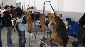 国际狗展示CACIB-FCI 股票视频