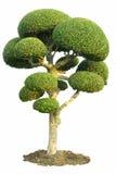 图庭院查出的装饰结构树 免版税图库摄影