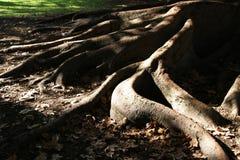图根源结构树 库存图片