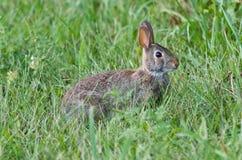 图片用坐在草的一只逗人喜爱的兔子 库存照片