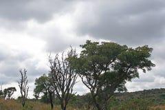 图画现有量横向结构树 免版税库存照片