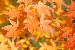 图象叶子槭树红色向量 秋天叶子摘要背景 与棕色橙树的加拿大公园秋季公园风景离开 库存图片