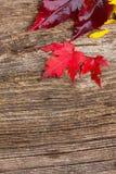 图象叶子槭树红色向量 免版税库存照片