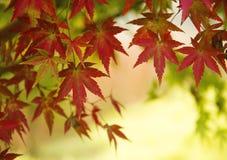 图象叶子槭树红色向量 库存图片
