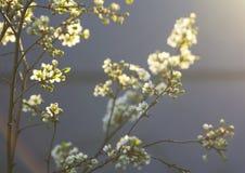 图象在春天弄脏了一个李子的背景开花的分支 图库摄影
