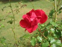 图象是玫瑰色的在斯里兰卡 地点是Haggala斯里兰卡 免版税库存照片