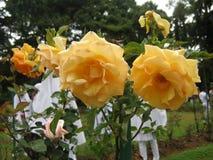 图象是玫瑰色的在斯里兰卡 地点是Haggala斯里兰卡 免版税库存图片