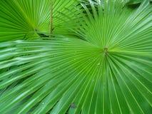 圆叶子喷泉棕榈(Anahaw叶子) 库存照片