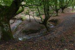 圆小河在山毛榉森林里 库存图片