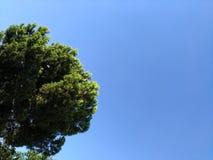 圆形绿色针叶树在纯净的蓝天背景的  免版税库存图片