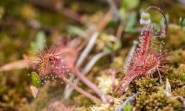 圆有叶的sundew茅膏菜属植物rotundifolia是一个肉食计划 免版税库存照片