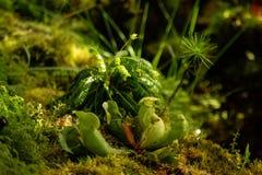 圆有叶的sundew,茅膏菜属植物rotundifolia,在peatmoss,Sundew或者露水植物或者lustwort,在一小肉食或者 免版税图库摄影