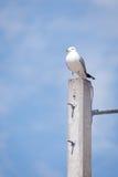 圆环发单了在具体杆栖息的鸥 库存图片