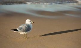 圆环在海滩的比尔鸥在日落密执安湖 免版税库存照片