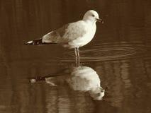 圆环开帐单的鸥在水中 库存图片
