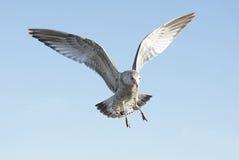 圆环开帐单的鸥鸥属delawarensis 库存图片
