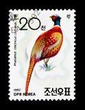 圆环收缩的野鸡(雉属colchicus),鸟类学家医生 免版税图库摄影