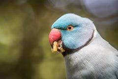 圆环收缩的长尾小鹦鹉吃关闭  免版税库存图片