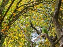 圆环收缩的长尾小鹦鹉坐与其他鸟的一个树枝在背景中,普遍的宠物在从非洲的养鸟方面 图库摄影