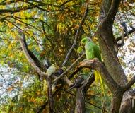 圆环收缩的长尾小鹦鹉坐分支,一只普遍的宠物在从非洲的养鸟方面 免版税库存图片