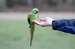 圆环收缩的长尾小鹦鹉, Psittacula krameri 免版税库存图片