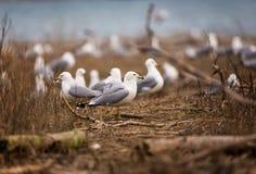 圆环群发单了鸥在汤米・汤普森公园休息 免版税图库摄影