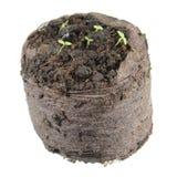 圆环风铃草或Symphyandra pendula幼木与两片绿色盾状体叶子在白色背景隔绝的土壤土块 库存照片