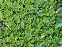 水圆白菜。水表面上的植物。 免版税图库摄影