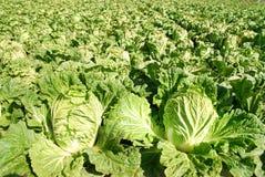圆白菜中国绿色蔬菜 库存照片