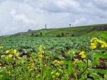 圆白菜农场, kapchorwa,乌干达 库存图片