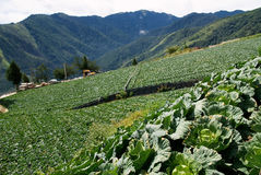 圆白菜农场 免版税库存照片