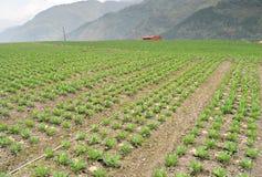 圆白菜农场 库存图片