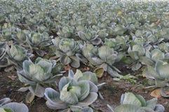 圆白菜农场 库存照片