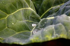 圆白菜叶子在庭院里 图库摄影